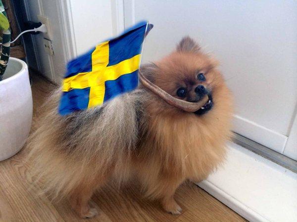 HEIA SVERIGE: I dag er det bare å ta fram det svenske flagget, pojker! Selv har jeg montert et svensk flagg på en grisehale. Illustrasjon: Ginny