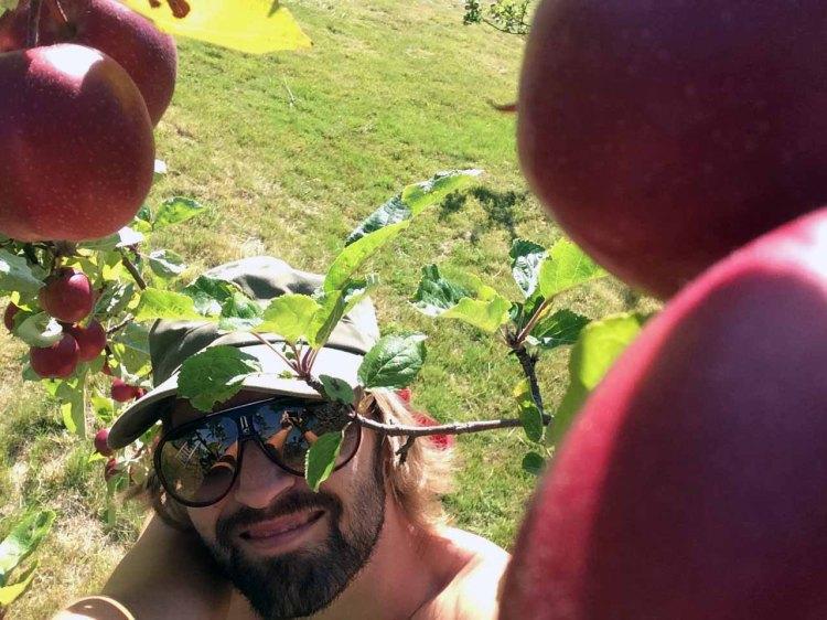 KLART FOR HØSTING: Burgunderfargede epler er snart klare til å bli hentet ned fra treet. (Bildet er fra en solfylt dag i august.) Foto: Rune S. Alexandersen