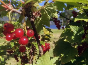 RIPS: Elene plukket 15 liter rips i sommer. I tillegg ble det noen liter solbær fra egne busker. Tyttebær og blåbær fra egen tomt har det også blitt. Foto: Rune S. Alexandersen